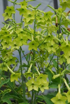 nicotiana alata lime-I grow all different varieties of this. And if you let it go to seed, it will self seed the next year. Gardenias, Moon Garden, Dream Garden, Shade Garden, Garden Plants, Annual Flowers, White Gardens, Green Flowers, Summer Garden