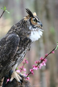 Dudley, the Great Horned Owl, poses at PhotoWILD at Carolina Raptor Center. Photo by Jannine Kook.