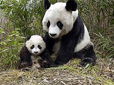 Panda.  Its forest habitat, in the mountainous areas of southwest China, is increasingly fragmented by roads and railroads. Habitat loss continues to occur outside of protected areas, while poaching remains an ever-present threat.