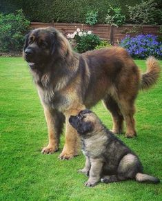 Best Leonberger Dog Names – The Paws Huge Dogs, Giant Dogs, Perro Leonberger, Dog Photos, Dog Pictures, Leonburger Dog, Mini Goldendoodle Puppies, Terra Nova, Large Dog Breeds