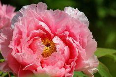 Пионы Крупным планом Розовый Цветы