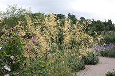 Golden oats Stipa gigantea