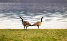 Geese on guard. Photo by Tetyana Lodewijk, Sointula, BC.