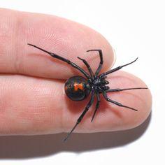 Brazilian Wandering Spider Fangs