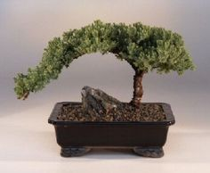 How to Care for Juniper Bonsai Trees
