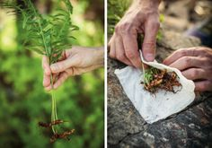 Spiselige planter i norsk natur - viivilla.no How To Dry Basil, Herbs, Garden, Food, Garten, Lawn And Garden, Essen, Herb, Gardens