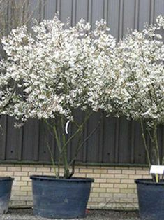 Amelanchier Lamarckii good for waterlogging