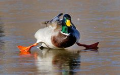 A mallard duck attempts to walk on a frozen pond in Yukon, Oklahoma