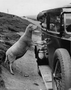 A mountain sheep on the Horse Shoe Pass near Llangollen in N Wales begs for food from a small boy in a car, 26th September 1936