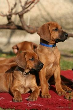 Rodesian Ridgeback known as the African lion dog is originally from S. Africa and was bred to hunt lions. Cute Puppies, Cute Dogs, Dogs And Puppies, Lion Dog, Dog Cat, Rhodesian Ridgeback Puppies, Most Beautiful Dogs, Hunting Dogs, Mans Best Friend