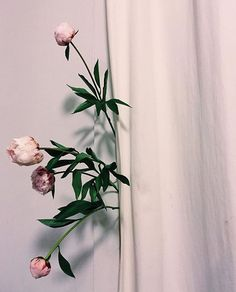 //  by @georgiahilmer .  #photography #art #stilllife #flowers #foliage #floral #florals #peonies #inspo