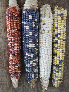 """Casados Multi:  """"A colorful mix of red, white, blue, yellow, orange and chinmark kernels on medium (11"""") length ears. From the Casados Farm in El Guique, New Mexico."""""""