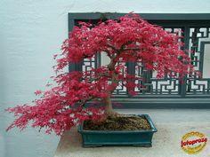 Japanese maple - Acer palmatum cv - Aceraceae - 55 years old SL20090407 011 | por fotoproze