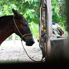 Caballo atado en el establo Apure Venezuela #horse # Venezuela #Caballo #igersven #igersvenezuela #Llanos #instahub