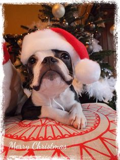 Cute One Year Old Boston Terrier in Santa Hat Wished Merry Christmas! ► http://www.bterrier.com/?p=27738 - https://www.facebook.com/bterrierdogs