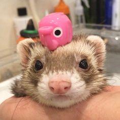 Cute Little Animals, Cute Funny Animals, Funny Animal Pictures, Funny Cute, Cute Dogs, Cute Pictures, Chinchilla, Pet Ferret, Cute Ferrets