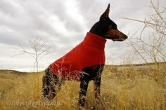 Best sweaters ever for your Doberman or dog with large chest. I have never found a sweater that fits so well and wears so well! Fits my Dobie perfect!