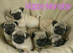 Happy Monday, humans!  www.jointhepugs.com/  #pug #pugpower #pugsnotdrugs #puglife #puglove #cuteness #pugs #puglover #dogs #animals