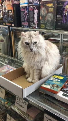 I met this cutie in a comic book shop in Hampton VA - 10/10 would pet again!  Has a face like a lion.