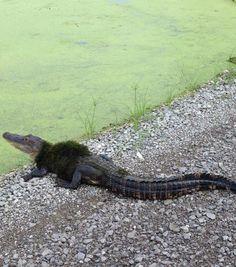Alligator wearing a moss 'sweater'