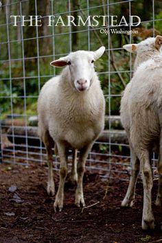 14 Best Katahdin Sheep images in 2017 | Katahdin sheep, Baa