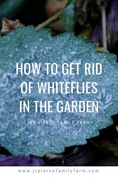 Getting rid of whiteflies in the garden can be a challenge. Follow these tips and you can eradicate them easily - and quickly. #jrpiercefamilyfarm #organicgardening #whiteflies #whiteflypestcontrol #gardenpestcontrol #gardeningtips Building Raised Beds, Raised Garden Beds, Organic Gardening, Gardening Tips, Vegetable Gardening, Farm Projects, Urban Homesteading, Raising Chickens, Growing Vegetables