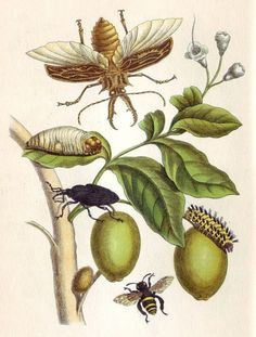 Maria Sibylla Merian, Genip Tree with Palm Weevil, a Long Horned Beetle and an Orchid Bee, 1719