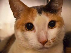 KATHIE - A1073455 - - Manhattan  Please Share:   ***TO BE DESTROYED 05/22/16*** GORGEOUS CALICO LADY WANTS TO BE YOUR NEW BFF! Isn't 3 year old Kathie beautiful? This AVERAGE RATED little lady has a story to tell. Her owner died about 4 months ago, and she was living alone with someone coming to visit her and feed her every once in a while. Then a different person came and picked her up, and she wound up at the ACC! She was a bit frightened upon first arrival, but has