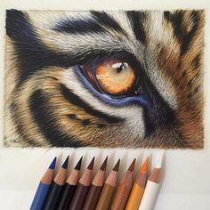 pencil art Not really and also to late for but I had to post this masterpiece by one of my favorite Colored Pencil Artists :scream::heart_eyes_cat::heart_eyes_cat: :small_blue_diamond: karenhullart did it again! Look at all those details Blue Drawings, Animal Drawings, Cool Drawings, Pencil Drawing Tutorials, Art Tutorials, Tiger Drawing Tutorial, Vexx Art, Regard Animal, Coloured Pencils