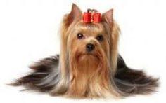 Un terrier da salotto, lo Yorkshire terrier #yorkshireterrier #cane #compagnia