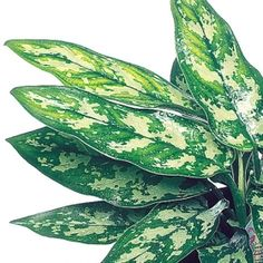 Aglaonema - Maria ~     Botanical Name: Aglaonema  Commutatum --   Origins: Vietnam; Low Light;   Watering: Every 2 to 7 Days;   Growth Speed: Slow