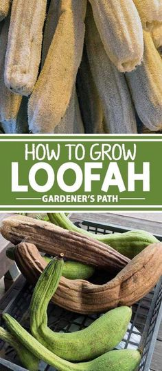 What if you could grow a plant that can give you smooth skin and that doubles as a powerful household cleaning tool? Loofah sponges can be one of the most rewarding garden harvests, and it's possible to make your own with the fruits of a special gourd. Read more at Gardener's Path.