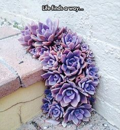 life finds a way ~ OBVIOSLY VERY LITTLE WATER NEEDED & WHALA, A BEAUTIFUL SUCCULENT APPEARS ~