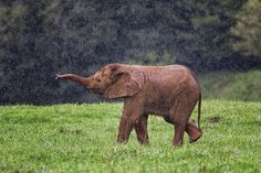 An Elephant calf playing in the rain. Image taken in Cabarceno Nature Park in Spain.