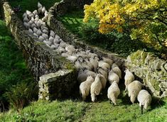 "pagewoman: "" Swaledales on packhorse bridge, Ravenseat, Swaledale, North Yorkshire, England by Amanda Owen "" Yorkshire England, Yorkshire Dales, North Yorkshire, Wooly Bully, Sheep And Lamb, Sheep Farm, English Countryside, British Isles, Country Life"