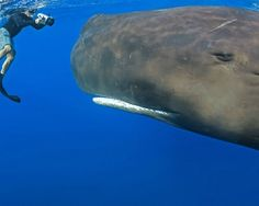 Wow! Sperm Whale >> what an amazing creature!