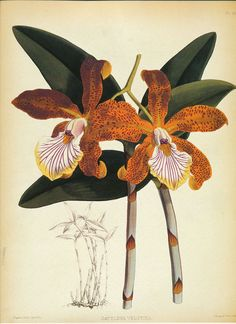 ORCHID CattLeya Velutina by J.N. Fitch Pl 28 print   9'' x 12''