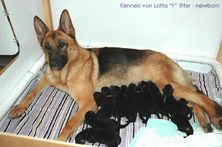 German Shepherd puppies: reputable breeder questions