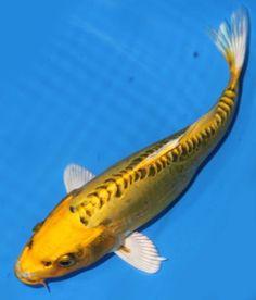 Live-koi-fish-8-9-Doitsu-Scaleless-Yellow-Ki-Matsuba-Koibay