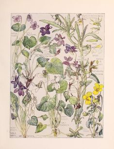 The Violet Family. Arts and Crafts-style botanical illustrations by H. Isabel Adams taken from 'Wild Flowers of the British Isles.' Published 1907 by William Heinemann. Pennsylvania Horticultural Society, McLean Library. archive.org