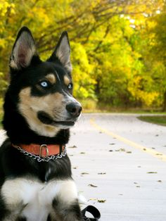 Photos by Jmac.      All Rights Reserved.  *Please share but give credit where credit is due. NO cropping &/or editing.   Thanks a bunch!  #husky #autumn #dog #fall #texas