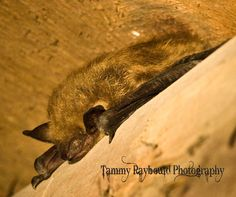 Muriel, the Little Brown Bat by Tammy Raybould Photography