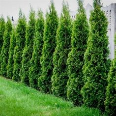 Thuja Green Giant Privacy Screen in garden. - tall ones available Thuja Green Giant Privacy Screen in garden. - tall ones available Privacy Trees, Garden Privacy, Privacy Landscaping, Backyard Privacy, Landscaping Supplies, Garden Shrubs, Small Backyard Landscaping, Landscaping Tips, Backyard Ideas