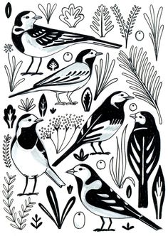Wagtails illustration by Sarah Abbott.