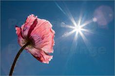 Horst Winkler - Mohnblume im Sonnenlicht Horst, Nature, Plants, Sunlight, Summer, Naturaleza, Planters, Nature Illustration, Outdoors
