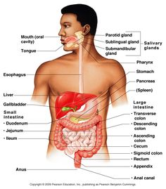 Digestive system diagram digestive system pinterest human the organs of the digestive system fall into two main groups the alimentary canal and accessory digestive organs there are six steps of digestion ccuart Gallery