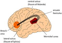 "in fact we now know that language function is incredibly widely distributed through the brain, ""extend[ing] far beyond 'Broca's' and 'Wernicke's areas',"" involving areas ""in the frontal, parietal, and temporal lobes, in the medial hemispheres of the brain, as well as in the basal ganglia, thalamus and cerebellum."""