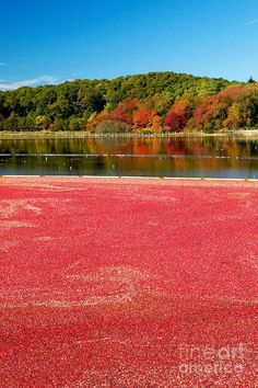 I love this picturesque photo of a Cape Cod Cranberry Bog in the fall. #travel