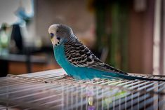 It is very common to have parakeets as a pet. But you need to know something before adopting it here youll get any solutions for parakeet bird. Parakeet Colors, Parakeet Food, Blue Parakeet, Budgie Parakeet, Parakeets As Pets, Budgies, Parrots, Exotic Birds, Toys