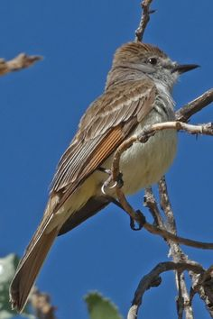 """An ash-throated flycatcher (Myiarchus cinerascens) in the Rio Grande Bosque, Albuquerque, New Mexico. The cinnamon on the wings plus the """"pale lemon"""" belly help with the ID. Photo taken on June 1, 2021. Wings Plus, Rio Grande, New Mexico, Ash, Cinnamon, Lemon, June, Urban, Nature"""